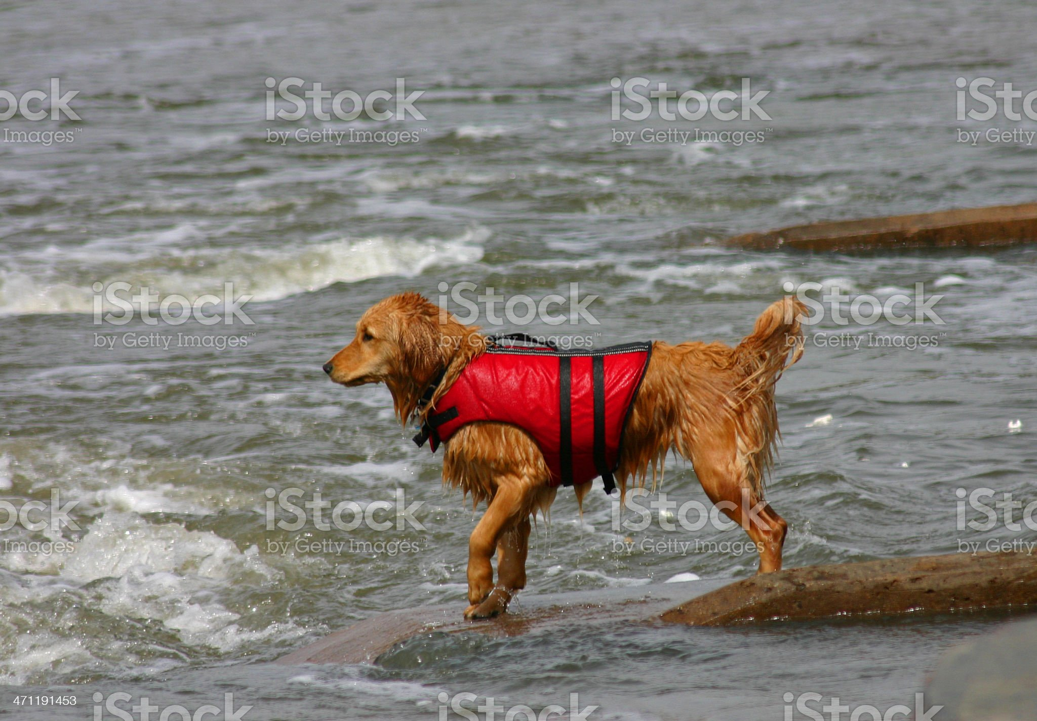 Golden Retriever to the Rescue royalty-free stock photo