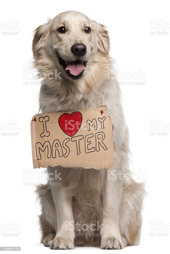 Golden Retriever, two years old, sitting, white background with sign. royalty-free stock vector art