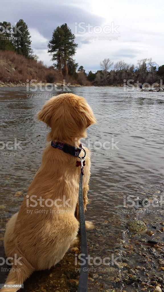 Golden Retriever Watching Fisherman stock photo