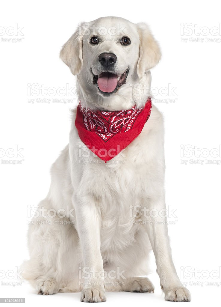 Golden Retriever wearing red handkerchief, sitting, white background. stock photo