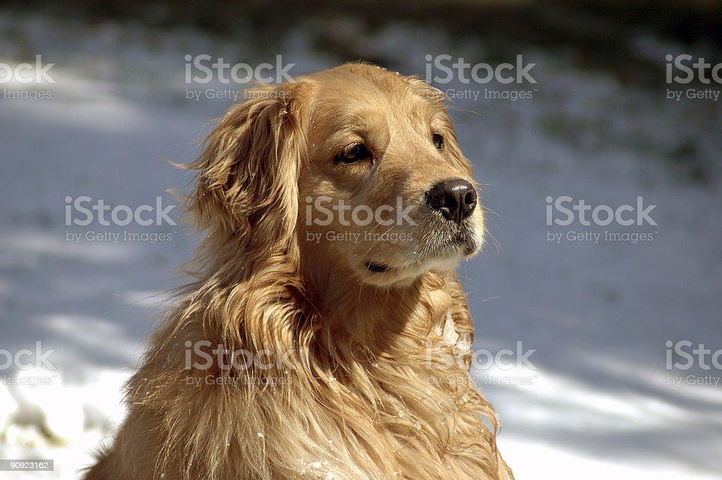 Golden Retriever wet with snow royalty-free stock photo