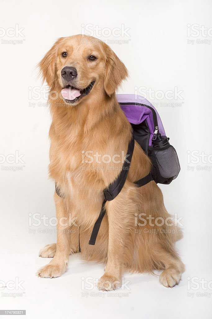 Golden Retriever with a backpack royalty-free stock photo