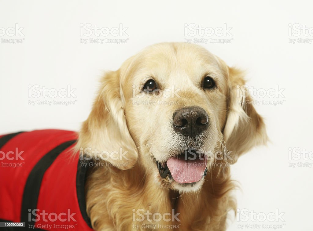 Golden Retriever with a raincoat royalty-free stock photo