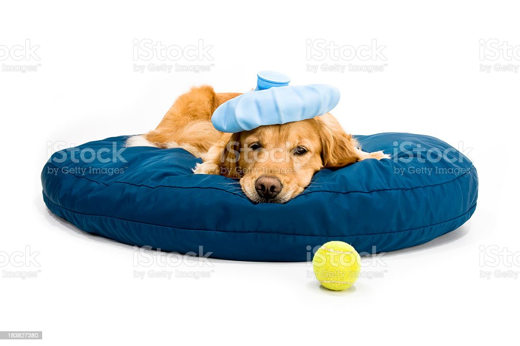 A golden retriever with an icepack on its head laying in bed stock photo