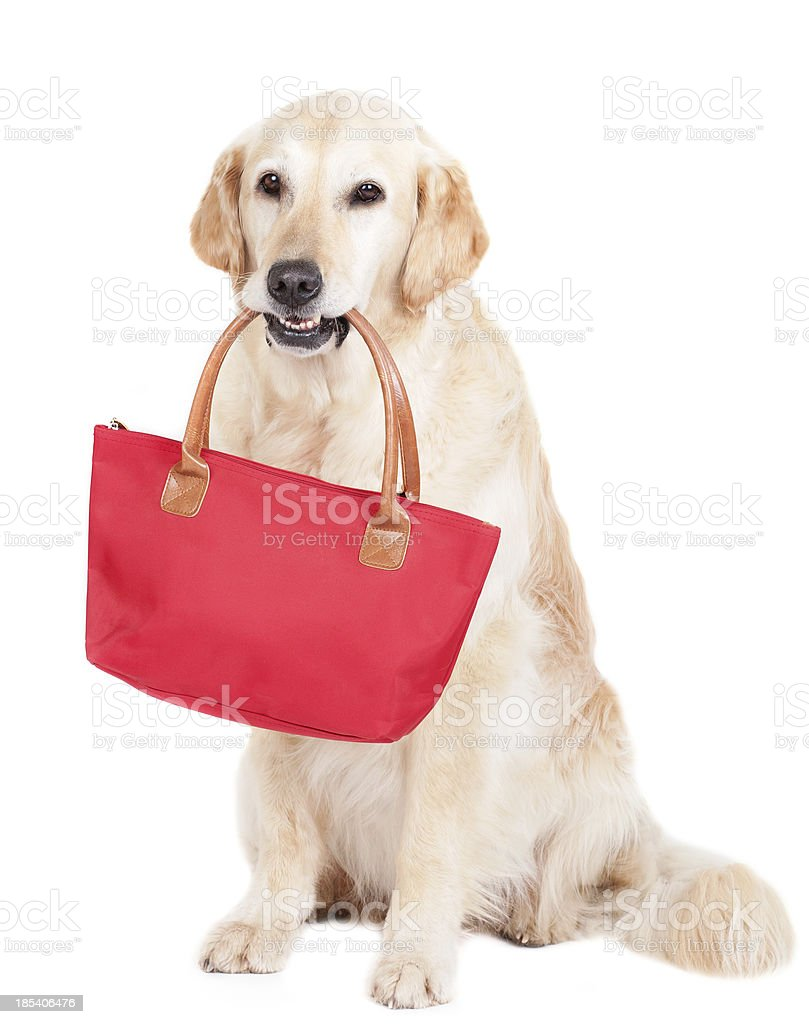 Golden Retriever with bag royalty-free stock photo