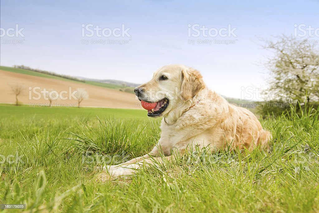 Golden Retriever with ball royalty-free stock photo