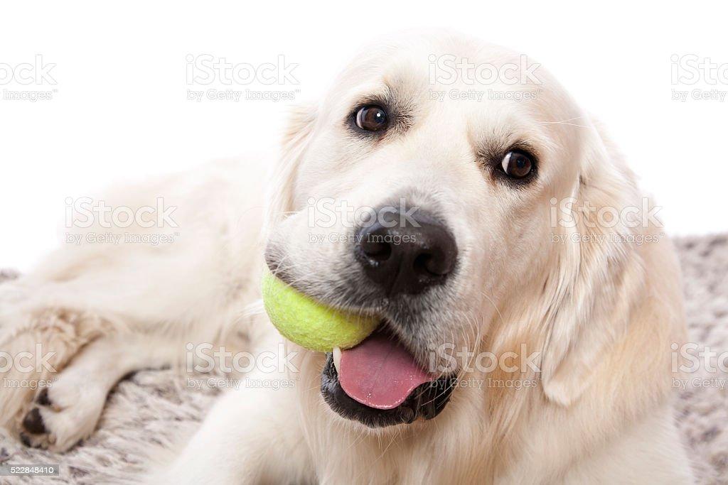 Golden Retriever With Ball stock photo