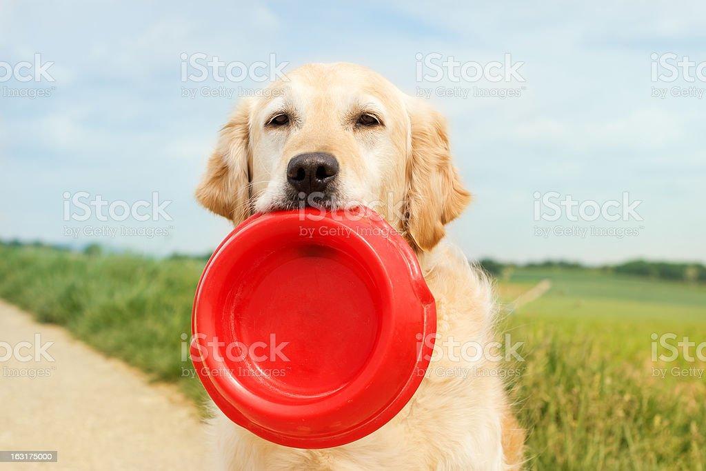 Golden Retriever with dog bowl stock photo
