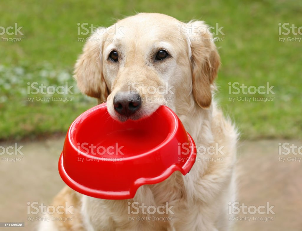 Golden Retriever with dog bowl stock photo