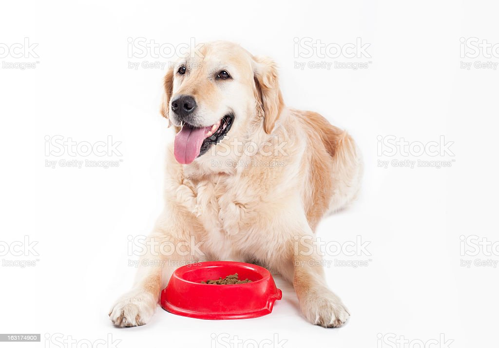 Golden Retriever with dog food royalty-free stock photo
