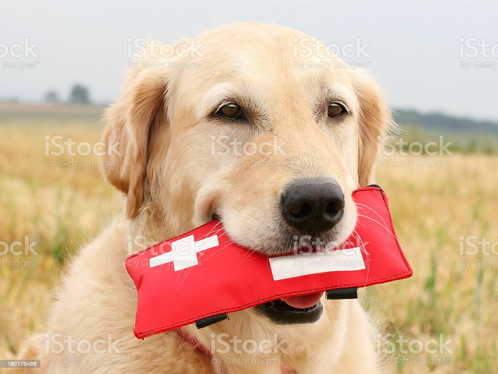 Golden Retriever with First-Aid-Kit royalty-free stock photo