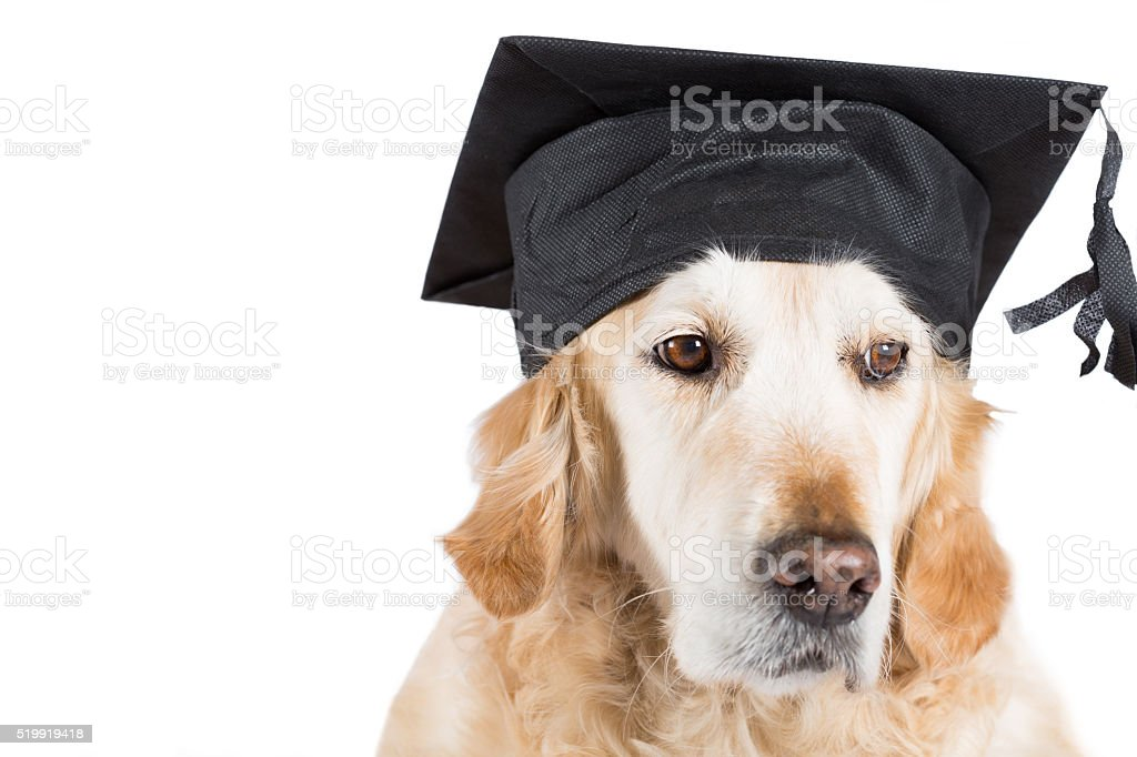 Golden Retriever with graduation cap stock photo