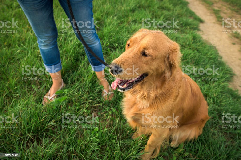 Golden retriever with her owner stock photo