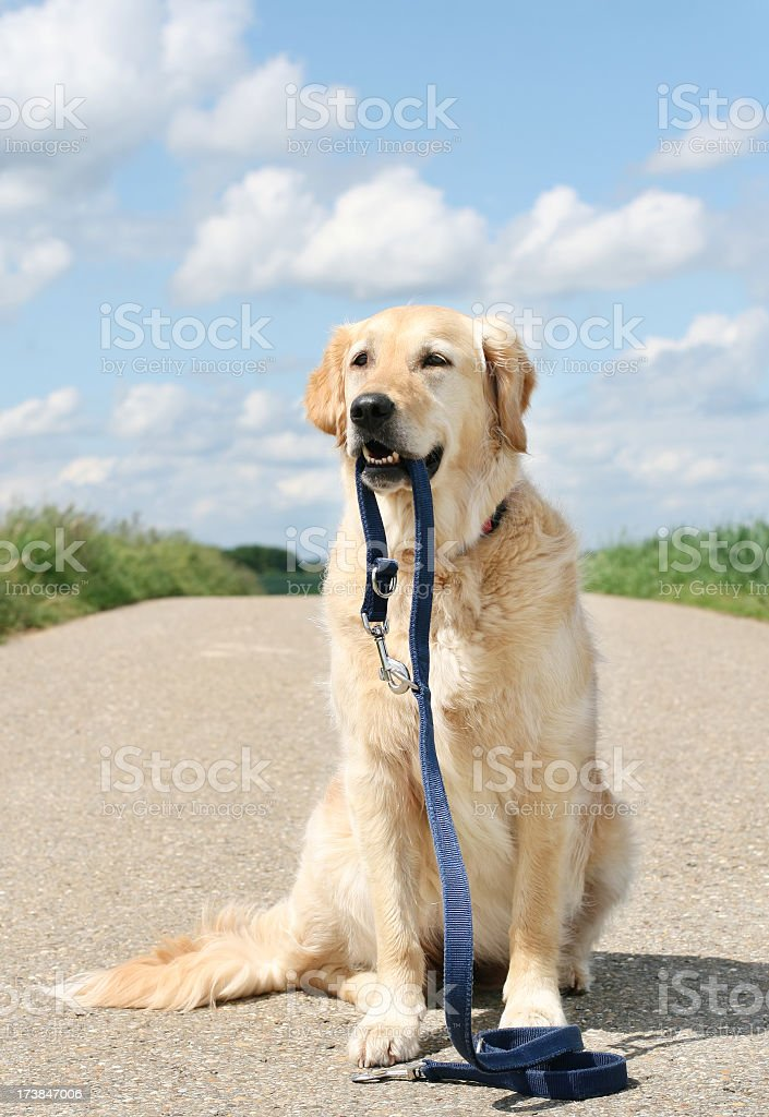 Golden Retriever with leash royalty-free stock photo
