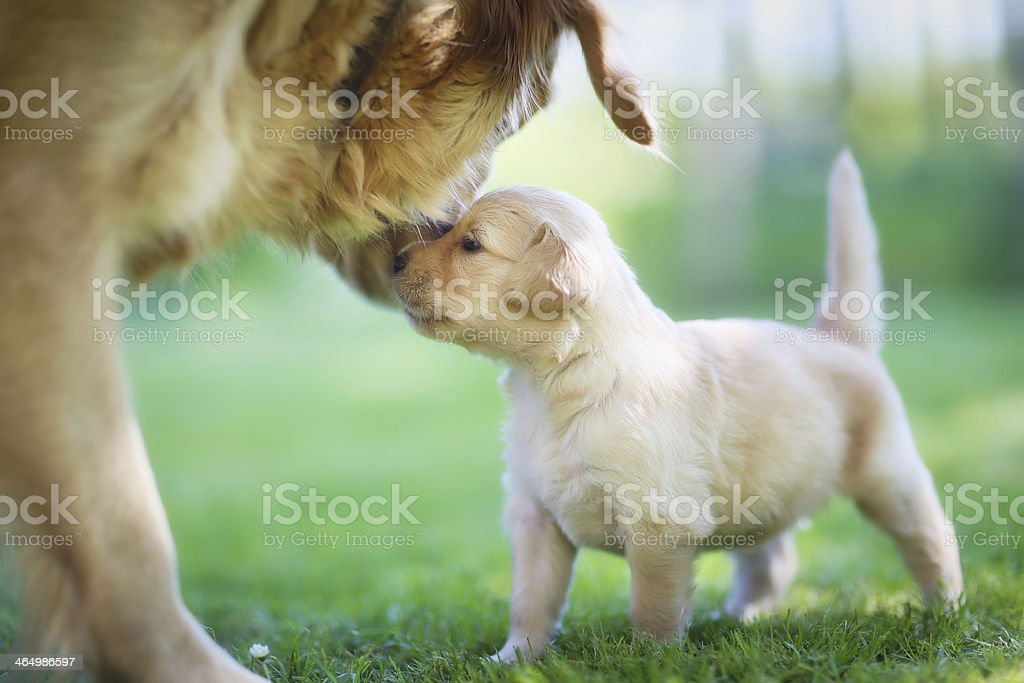 Golden retriever with puppy. stock photo