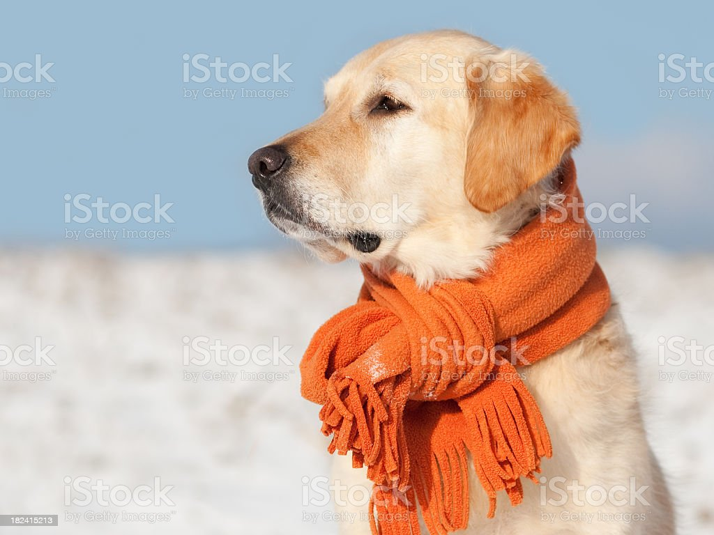 Golden Retriever with scarf royalty-free stock photo