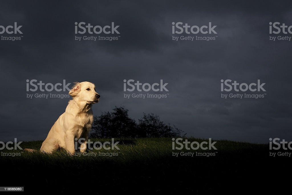 Golden Retriever with Storm Cloud stock photo