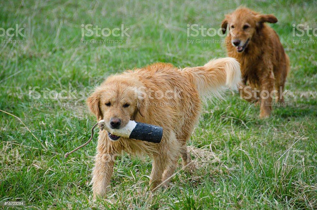 Golden Retrievers Chase the Training Dummy stock photo
