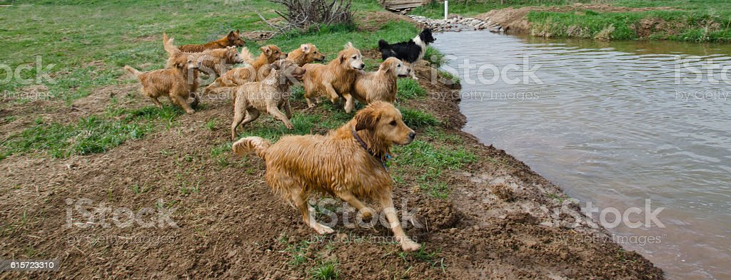 Golden Retrievers Chase the Training Dummy stock photo