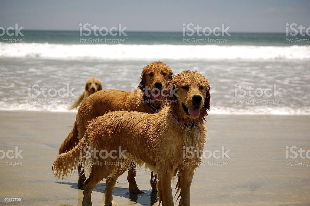 Golden Retrievers royalty-free stock photo