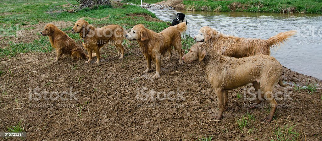 Golden Retrievers Wait For a Command stock photo