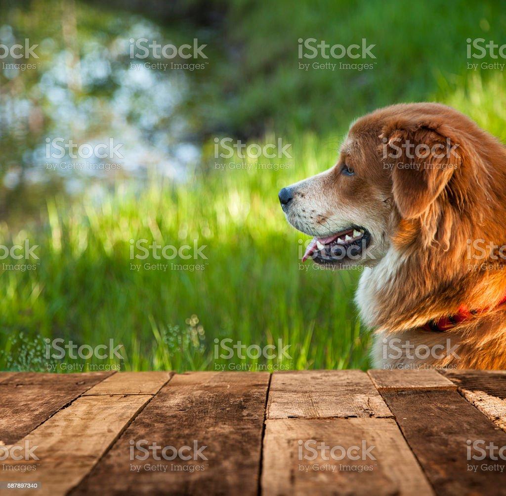 Golden retriver mix dog at edge of lake or pond. stock photo