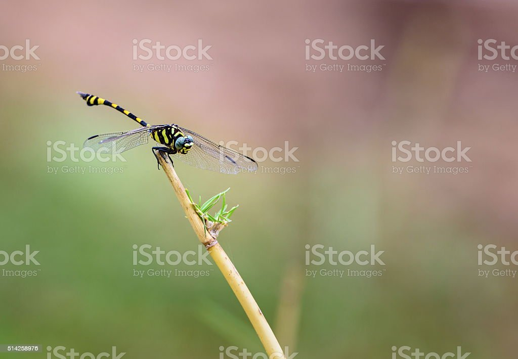 Golden Ringed Dragonfly. stock photo