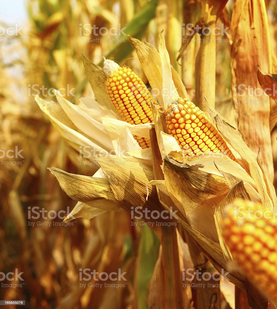 Golden ripe corn,closeup stock photo
