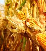 Golden ripe corn,closeup