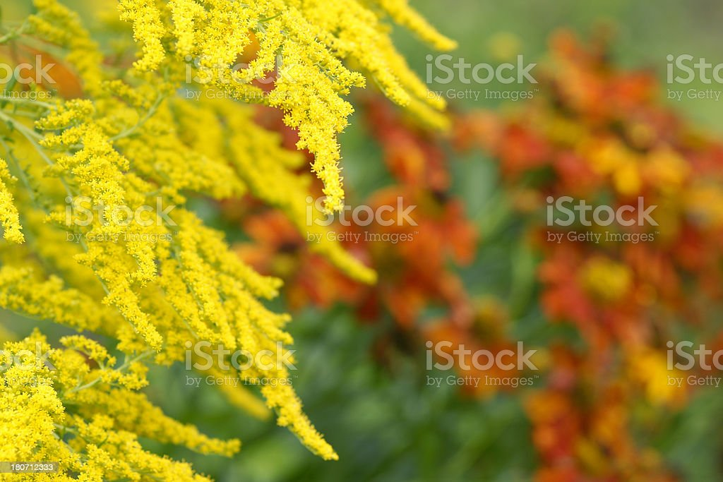 Golden rod and Helenium flowers royalty-free stock photo