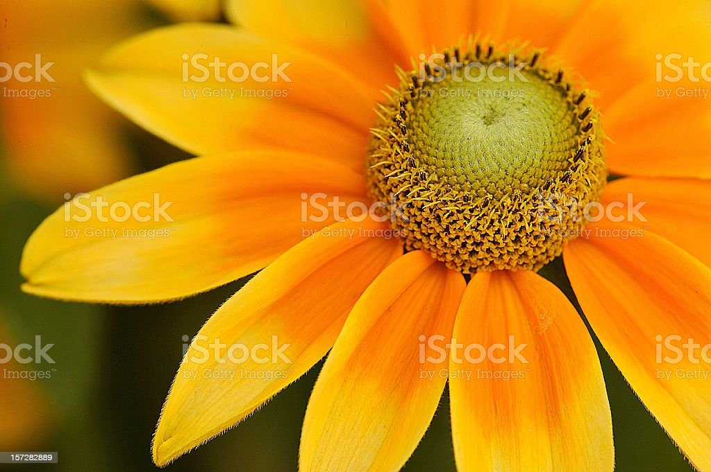 Golden Rudbeckia close up showing flower structure royalty-free stock photo