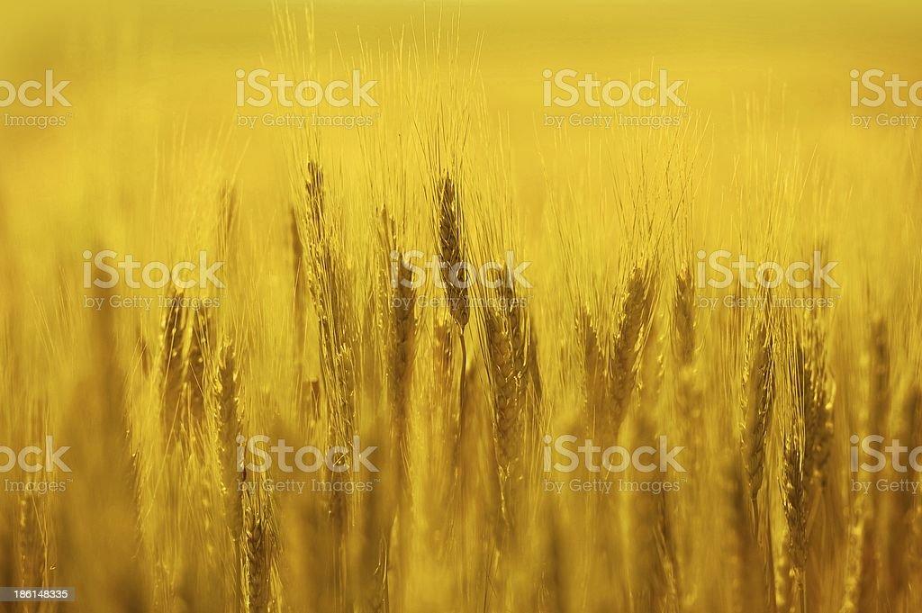 Golden Rye Field royalty-free stock photo