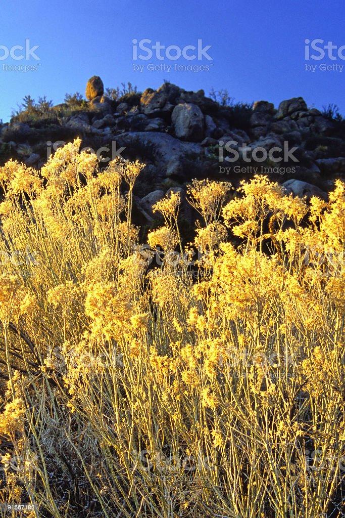 golden sage stock photo