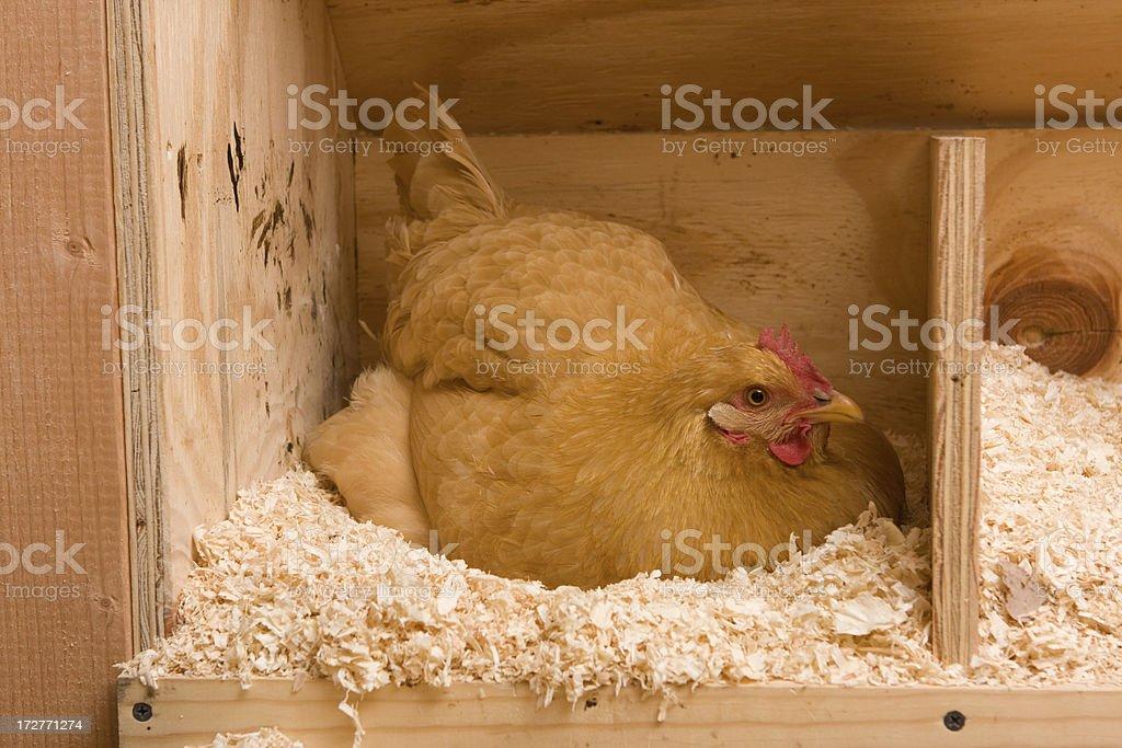 Golden Sex-Link hen laying an egg stock photo