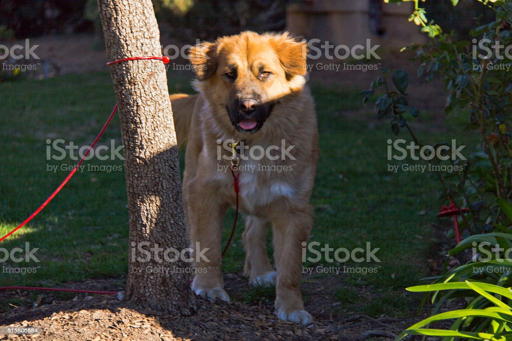 Golden Shepherd stock photo