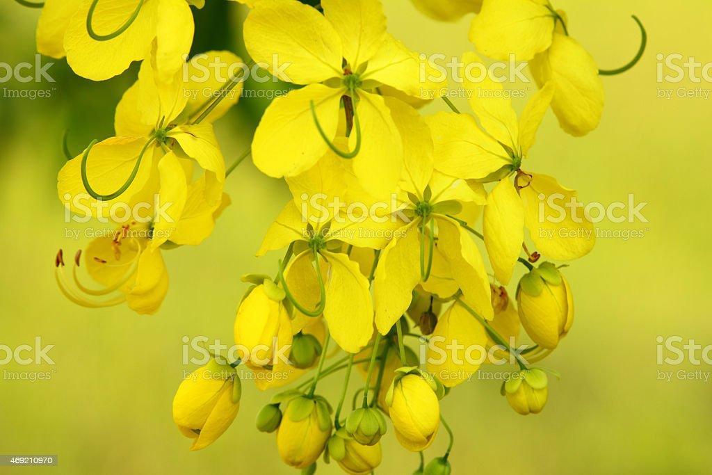 Golden shower flower in Thailand stock photo