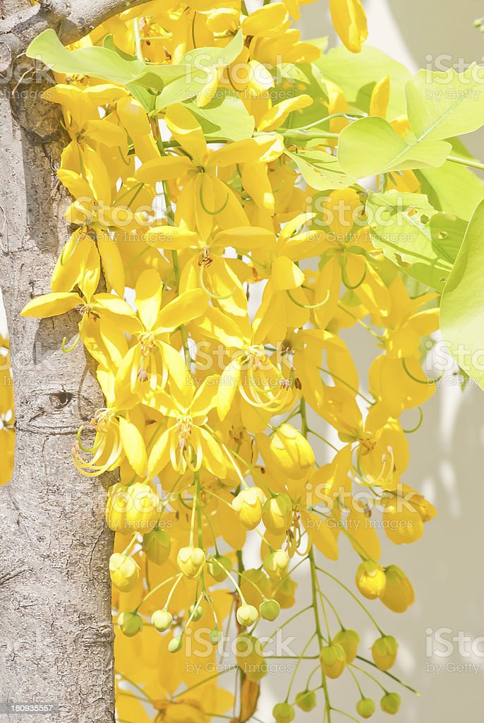 Golden shower flowers stock photo