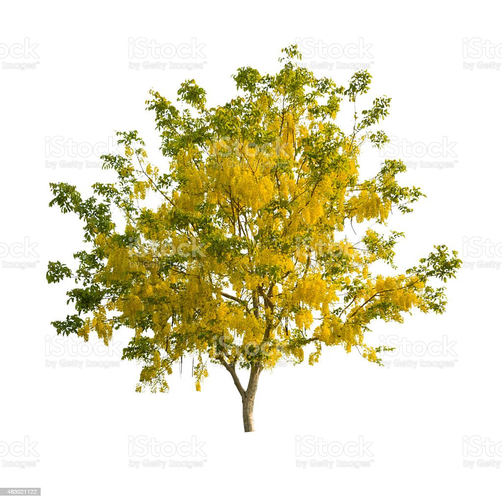 Golden shower tree (Cassia fistula), tropical tree in the northe stock photo