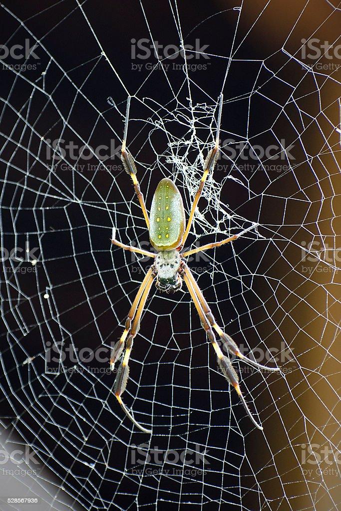 golden silk orb weaver or banana spider, Nephila clavipes stock photo