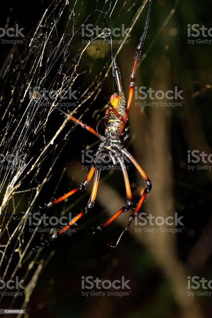 Golden silk orb-weaver, nephila on net Madagascar stock photo