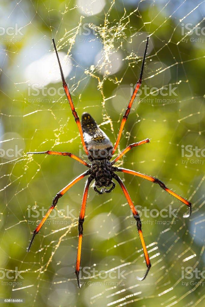 Golden silk orb-weaver on net Madagascar stock photo