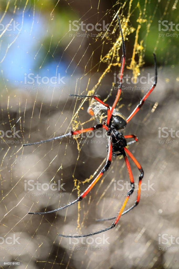 Golden silk orb-weaver on net Madagascar wildlife stock photo