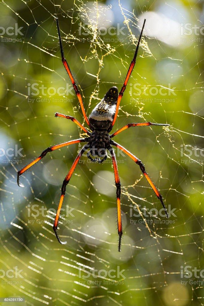Golden silk orb-weaver on net stock photo