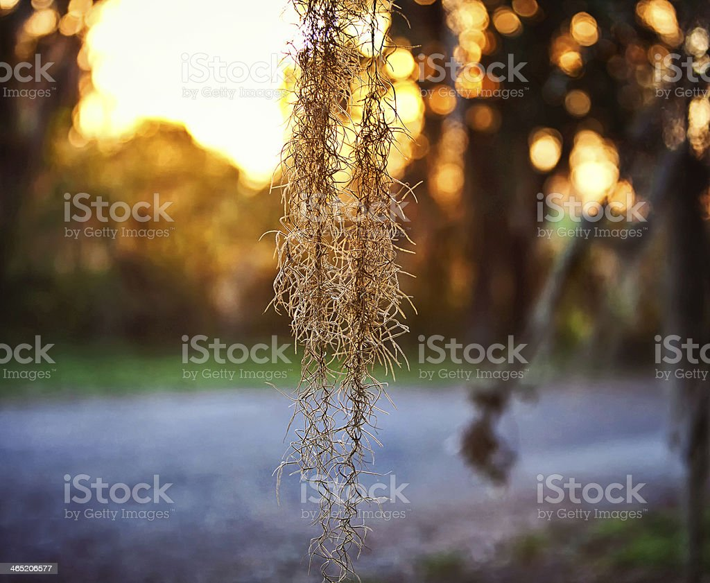 Golden Spanish Moss stock photo
