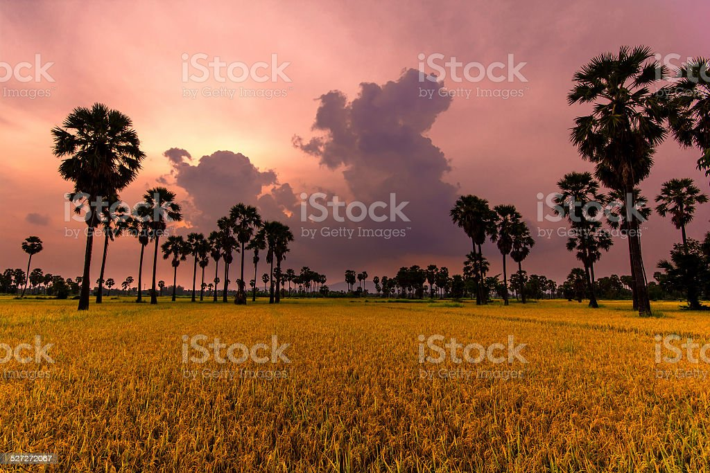 Golden Spike (Ears of corn) royalty-free stock photo