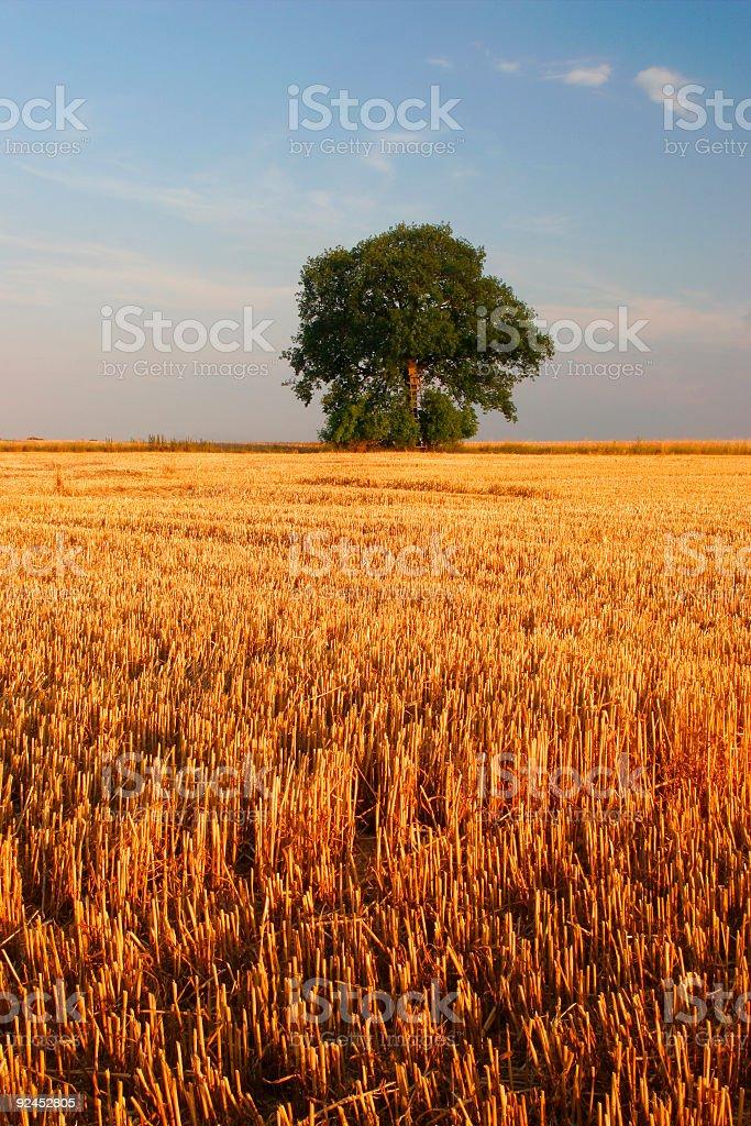 Golden Stubble Field royalty-free stock photo