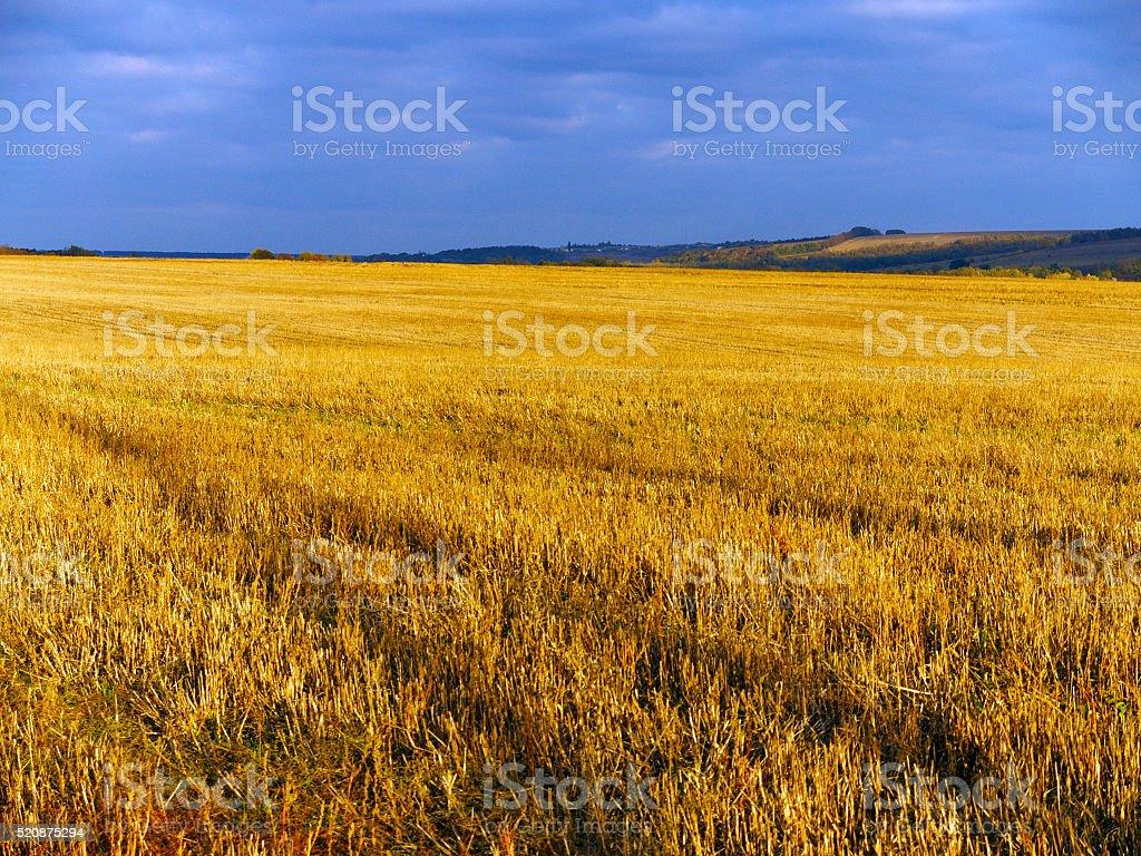 Golden stubble stock photo