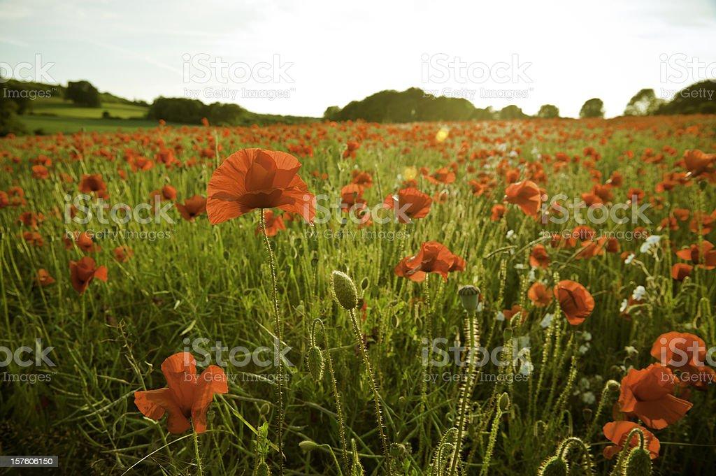 Golden summer sunset vibrant red poppy fields royalty-free stock photo