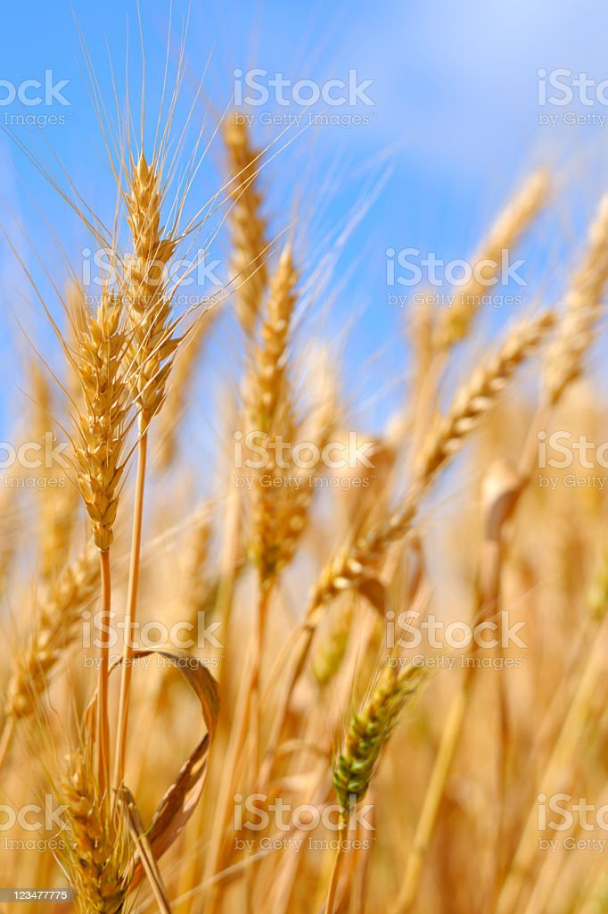 Golden Summer Wheat Crop against Blue Sky Background stock photo