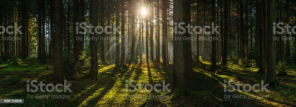 Golden sun beams streaming through idyllic wilderness pine forest panorama stock photo